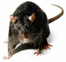 Roof Rats, also known as Black Rat