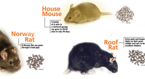 How to get rid of rats and mice